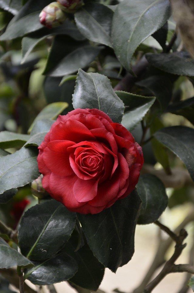 กลิ่น Rose temptation 1kg.