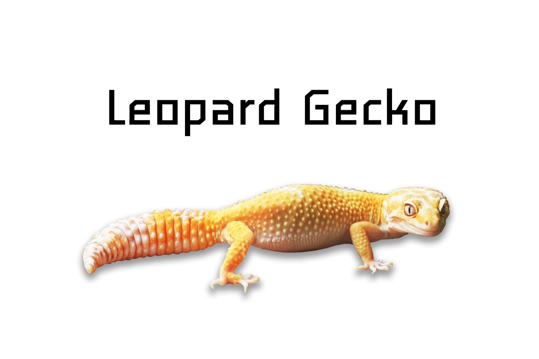 leopard gecko ตุ๊กแกเสือดาว