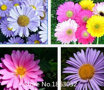 ดอก Daisy(คละสี) / 20 เมล็ด