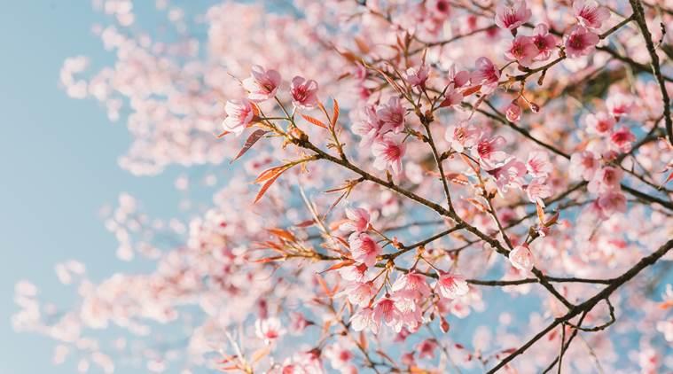 หัวน้ำหอมกลิ่น cherry blossom : 002437
