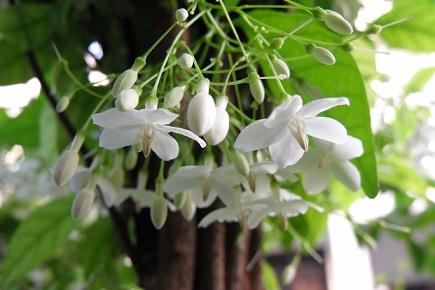 Mook Fragrance โมก (1 kg)